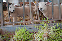 Lambs feeding on 5 days old sprouted barley from a hydroponics growing system, Herefordshire.