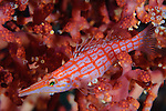 longnose hawkfish: Oxycirrhites typus amongst soft coral at a depth of 10 metres, Solomon Islands