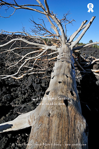 Italy, Sicily, Etna Volcano, Dead tree, low angle view (Licence this image exclusively with Getty: http://www.gettyimages.com/detail/sb10069713n-001 )