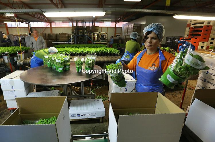 Foto: VidiPhoto..VENLO - Productie en verwerking van verse kruiden bij kweekbedrijf Gipmans in het Limburgse Venlo. Gipmans heeft zo'n 40 ha. aan kassen en 100 man vast personeel..