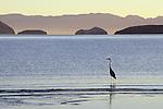 Great Blue Heron (Ardea herodias) and offshore islands, Bahia de los Angeles, Baja California, Mexico