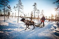 Per-Anders Nutti sledding - Reindeer, sledding, and Sami culture