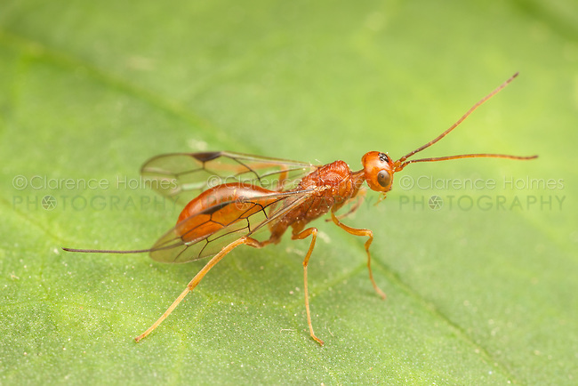 An Aulacid Wasp (Aulacus burquei) perches on a leaf.