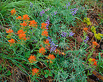 Zumwalt Prairie Preserve, OR <br /> Ground detail of paintbrush (Castilleja spp) and lupine (Lupinus spp) in a ponderosa forest near Trail Creek<br /> (A Nature Conservancy Preserve)