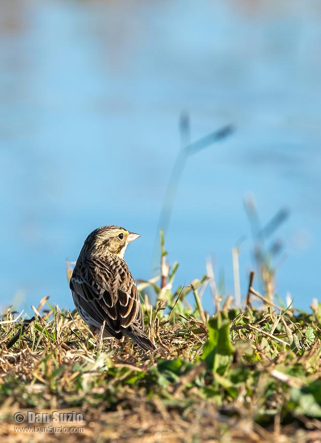 Savannah Sparrow, Passerculus sandwichensis, perches on the ground beside a pond in Sacramento National Wildlife Refuge, California