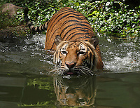The Indochinese tiger or Corbett's tiger (Panthera tigris corbetti) is a subspecies of tiger found in Cambodia, Laos, Burma, Thailand, and Vietnam and formerly in China.