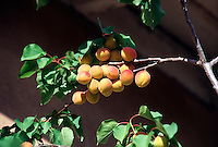 TREES - PLANTS<br /> Apricots on Branch<br /> Santa Fe, NM