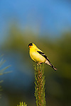 Male American golfinch perched in a red pine