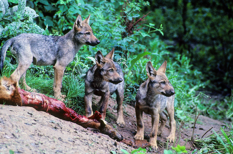 Wolf (Canis lupus)Wolf (Canis lupus)