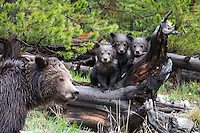 Grizzly triplets. They are adorable! Fantastic shot :) Might want to crop out Mom if you can as her out of focus face is somewhat distracting as foreground blurs always are.