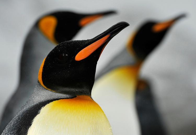 Facial view of King Penguin ( Aptenodytes patagonicus ), Jason harbour, South Georgia