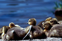 Canada Geese (Branta canadensis) - A Gaggle of Young Goslings