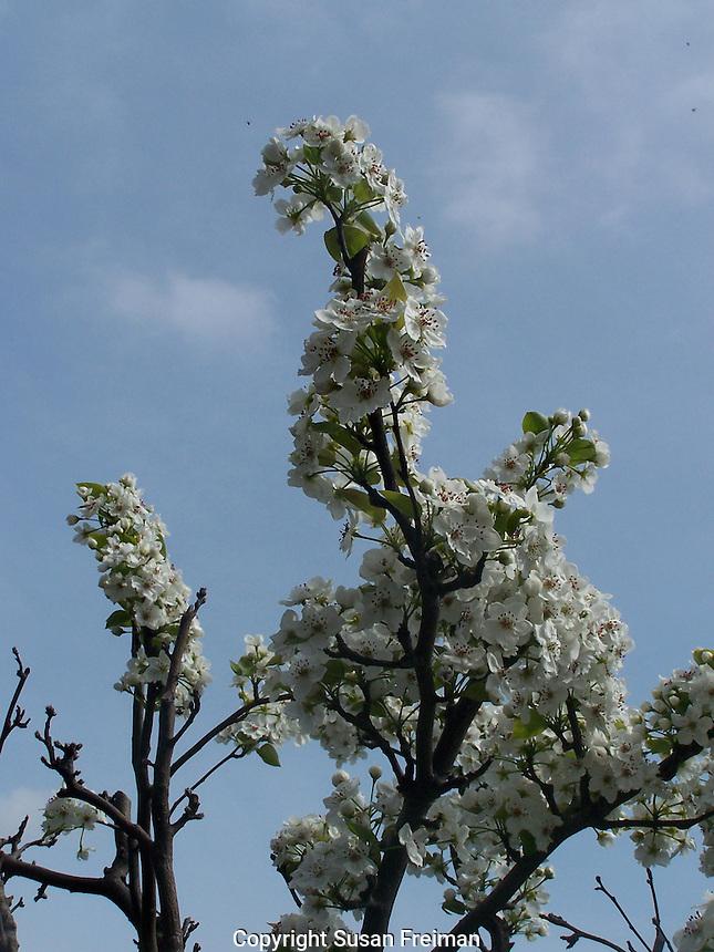 Asian Pear tree in bloom, Joan Gussow's garden