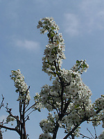 Asian Pear tree in bloom, Joan Gussow's garden