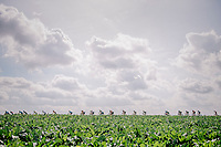 racing through the beet fields<br /> <br /> 8th Primus Classic 2018 (1.HC)<br /> 1 Day Race: Brakel to Haacht (193km / BEL)