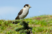 Gray Jay (Perisoreus canadensis).  Pacific Northwest.