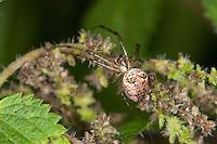 Herbstspinne, Weibchen, Herbst-Spinne, Metellina cf. segmentata, Meta cf. segmentata, Autumn spider, Autumn-spider, Lesser Garden Spider