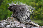 Porcupine (Erethizon dorsatum) on a log.  Spring.  Minnesota.