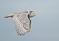 A snowy owl flies against a blue sky as it cruises the tidelands of Boundary Bay.<br /> Near Ladner, British Columbia, Camada<br /> 1/10/2012