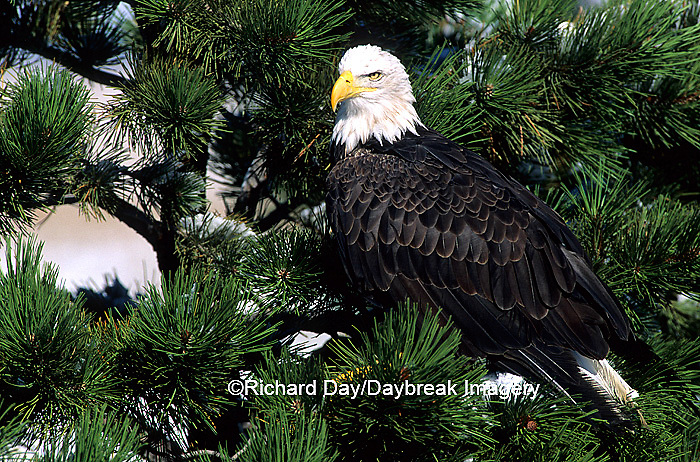 00807-02814 Bald Eagle (Haliaeetus leucocephalus) in pine tree   CO