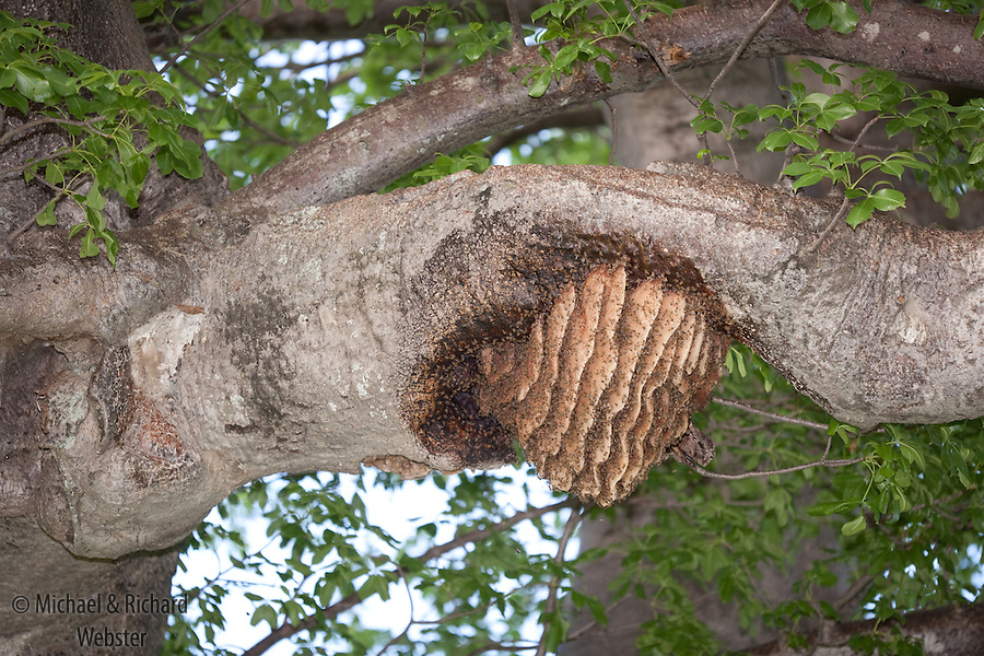 Bees nest on limb of baobab, showing the curvaceous honey combs