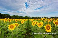63801-11105 Sunflowers in field Jasper Co.  IL