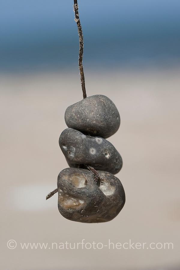 Naturkunst am Strand, Kind bastelt aus Steinen, Muscheln, Schnecken und anderem Strandgut ein Strandmobile, Fundstückemobile, Mobile, eine fadenförmige Alge wird als Schnur verwendet, auf die Hühnergötter, Hühnergott, Steine mit einem Loch, Lochsteine aufgefädelt werden, Strandkunst, Strand, Meer, Küste