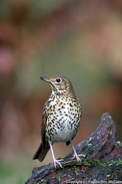 Song Thrush, Turdus philomelos, Perthshire, Scotland, spotted breast pattern. 25/10/2005.