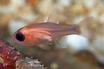 Apogon quadrisquamatus, Sawcheek cardinalfish, Roatan