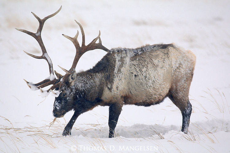 A hardy survivor of the Northern Rockies, a magnificent bull elk takes a moment from his near-constant foraging to alert his senses to nearby predators in Jackson Hole, Wyoming.