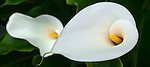 Close-up of calla lily (Zantedeschia aethiopica)