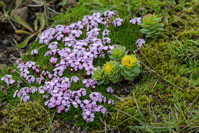 Moss campion (Silene acaulis) and Roseroot (Rhodiola rosea) flowering on top of Dyrholaey, a small peninsula, or promontory, is located on the south coast of Iceland, not far from the village Vík.