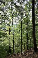 Hochwald, Wald aus Eiche und Rotbuche, Rot-Buche, Buche, Fagus sylvatica, Common Beech, Europaen Beech, Fayard, Hêtre commun, Quercus, Oak