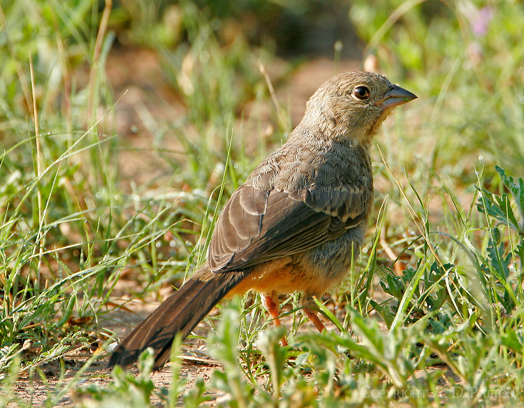 Canyon towhee adult standing in grass