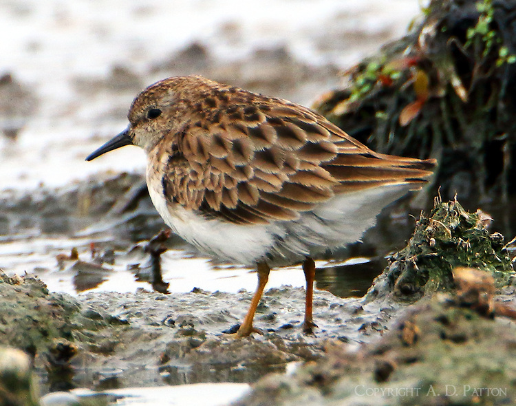 Least sandpiper in late Feb