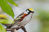 Chestnut-sided warbler (Dendroica pensylvanica) male along Lake Erie shoreline near Canada and USA border during annual spring migration. Some 46% of Chestnut-sided Warblers in North America nest in Canada's boreal forest.