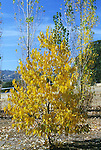 12860-CS American Persimmon Autumn Color, male tree, Diospyros virginiana, October, dioecious, w/ Lombardy Poplars, at Mourning Cloak Ranch, Tehachapi, CA USA.