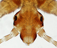 ECTOPARASITE<br /> Head Louse, Pediculus humanus, LM 40x mag<br /> Light microscope image showing head of Pediculus humanis, showing detail of the eyes (lens, cornea, retina), antennae, and mouthparts.