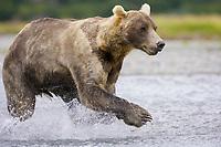 A grizzly bear hunts. Kodiak grizzly bear (Ursus arctos middendorffi), Kukak Bay