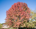 Liquidambar styraciflua, the American sweet gum or red gum, in autumn leaf against blue sky, UK
