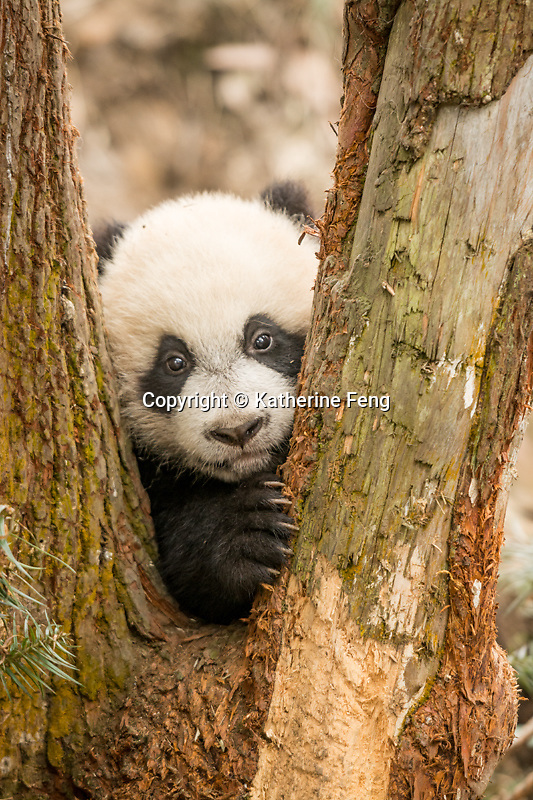 5 month old giant panda cub (Ailuropoda melanoleuca) Mother is Su Lin who was born in the San Diego Zoo.   China Conservation and Research Center for the Giant Panda,  Bifengxia Base<br />
