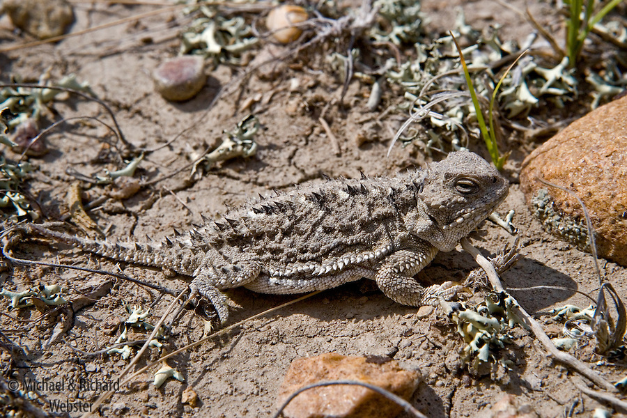 A Short-horned lizard on the semi-arid grasslands of Alberta where it is considered an endangered species due to habitat loss.