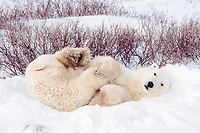 polar bear, Ursus maritimus, male waiting for freeze, Churchill, Hudson Bay, Manitoba, Canada ( Atlantic/ Arctic ), polar bear, Ursus maritimus