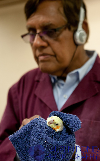 Dr. Ram Mohan examines a cockatiel at a clinic in Marietta, Ohio, on Oct. 17, 2012.