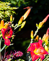 A red dragonfly is seen on top of daylily bud that hasn't opened.  The other daylilies are bright red and yellow in the middle with green foliage in the background.