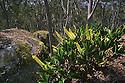 Rock Orchid (Dendrobium speciosum). Bald Rock National Park.