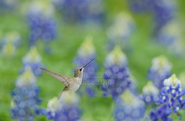 Black-chinned Hummingbird (Archilochus alexandri), adult female flying among blooming Texas Bluebonnet (Lupinus texensis), Hill Country, Texas, USA