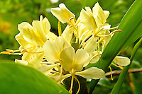 Yellow perfume ginger in Maunawili, windward Oahu