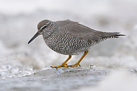 Adult Wandering Tattler (Tringa incanus) foraging on river ice. Seward Peninsula, Alaska. May.