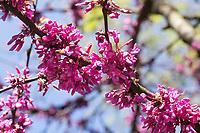 Gewöhnlicher Judasbaum, Judasbaum, Cercis siliquastrum, Siliquastrum orbicularis, Judas tree, Judas-tree, L'Arbre de Judée